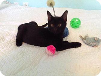 Siamese Cat for adoption in Sarasota, Florida - Dixie