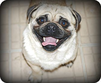 Pug Dog for adoption in Jennings, Oklahoma - Tigger