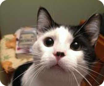 Domestic Shorthair Cat for adoption in Bellevue, Washington - Wicket