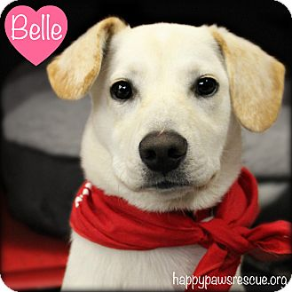 Labrador Retriever Mix Puppy for adoption in South Plainfield, New Jersey - Belle