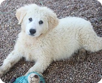 Great Pyrenees/Labrador Retriever Mix Puppy for adoption in Hooksett, New Hampshire - Mysa