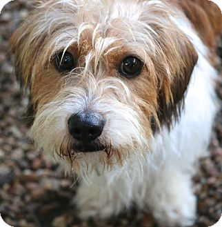 Terrier (Unknown Type, Small)/Petit Basset Griffon Vendeen Mix Dog for adoption in Woonsocket, Rhode Island - Linus