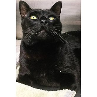 Domestic Shorthair Cat for adoption in Webster, Massachusetts - Baxter