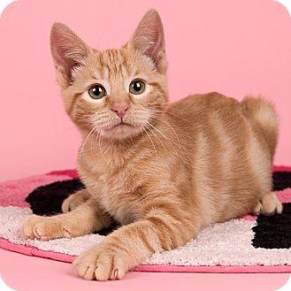 Domestic Shorthair Kitten for adoption in Wilmington, Delaware - Luigi
