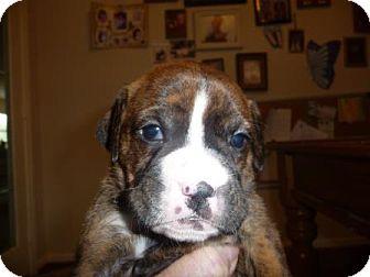 Boxer/Labrador Retriever Mix Puppy for adoption in Houston, Texas - BLUEBELL
