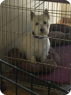 Westie, West Highland White Terrier Dog for adoption in Mesa, Arizona - Sheena