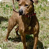 Labrador Retriever/Pit Bull Terrier Mix Dog for adoption in Payson, Arizona - Judge