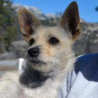Adopt A Pet :: Petunia - Mountain Center, CA