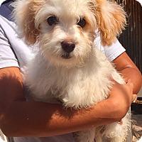 Adopt A Pet :: Sierra - Santa Ana, CA