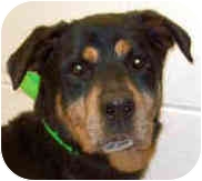 Rottweiler Mix Dog for adoption in Troy, Michigan - In memory -Henessey