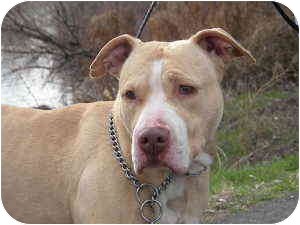 American Staffordshire Terrier Mix Dog for adoption in West Richland, Washington - Jaylyn