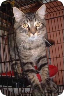 Domestic Mediumhair Kitten for adoption in Honesdale, Pennsylvania - Mikey