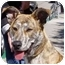 Photo 3 - German Shepherd Dog/American Pit Bull Terrier Mix Dog for adoption in Berkeley, California - Harriet