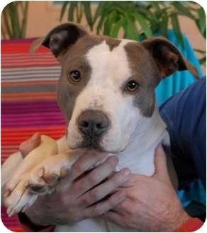 Pit Bull Terrier Mix Dog for adoption in Las Vegas, Nevada - Prada