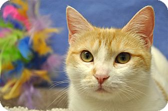 Domestic Shorthair Cat for adoption in Foothill Ranch, California - Lexi