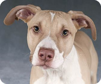 American Pit Bull Terrier/Hound (Unknown Type) Mix Dog for adoption in Chicago, Illinois - Gabriel