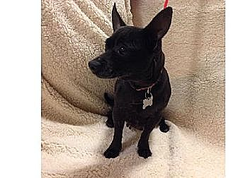 Chihuahua Dog for adoption in Winder, Georgia - Shadow