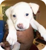Labrador Retriever Mix Puppy for adoption in Shelter Island, New York - Pandora