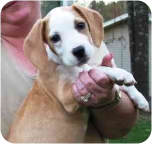 Beagle Mix Puppy for adoption in Portsmouth, Rhode Island - Hannah