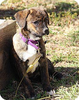 Boston Terrier/Spaniel (Unknown Type) Mix Puppy for adoption in Staunton, Virginia - Matilda