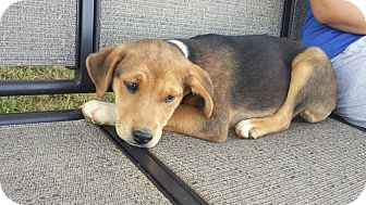 Labrador Retriever Mix Puppy for adoption in Albemarle, North Carolina - Gabby