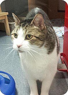 Domestic Shorthair Cat for adoption in Herndon, Virginia - Arturo
