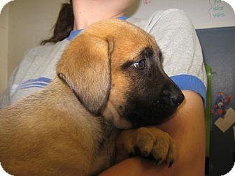 Boxer/Labrador Retriever Mix Puppy for adoption in Tyner, North Carolina - Bella, Delilah, and Zelda
