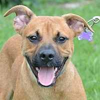 Boxer Mix Dog for adoption in Mt. Vernon, Indiana - Andy
