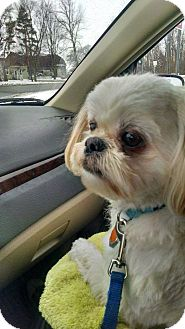Shih Tzu Mix Dog for adoption in Livonia, Michigan - Jersey