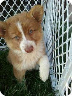 Australian Shepherd Mix Puppy for adoption in LaGrange, Kentucky - CRICKETT