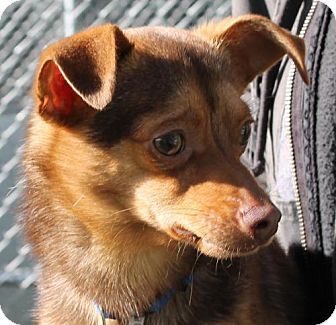 Chihuahua/Dachshund Mix Dog for adoption in Truckee, California - Moby