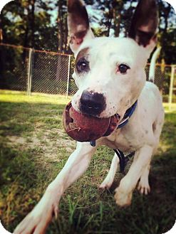 Pit Bull Terrier Mix Dog for adoption in Jackson, New Jersey - Petey