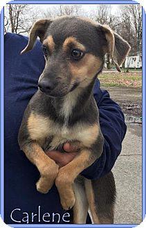 Beagle/Dachshund Mix Dog for adoption in Lincoln, Nebraska - CARLENE