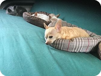 Chihuahua Dog for adoption in Milton, Florida - Sandy
