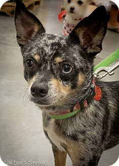 Cattle Dog Mix Dog for adoption in Loudonville, New York - Eli