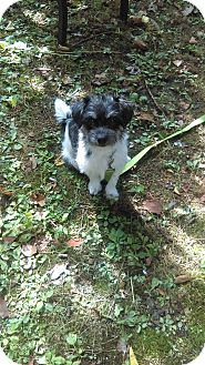 Shih Tzu/Jack Russell Terrier Mix Puppy for adoption in Freedom, Pennsylvania - Willy