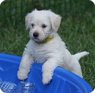 Poodle (Miniature)/Corgi Mix Puppy for adoption in Indianapolis, Indiana - Marigold