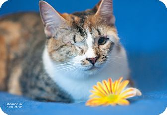 Domestic Shorthair Cat for adoption in Gainesville, Florida - Judy