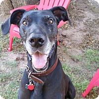 Adopt A Pet :: JoJo - Broomfield, CO