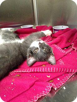 Domestic Shorthair Kitten for adoption in Covington, Kentucky - Branch