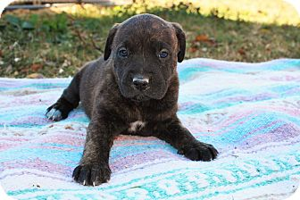 Labrador Retriever/Hound (Unknown Type) Mix Puppy for adoption in Seneca, South Carolina - Belle $250