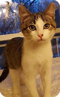 Domestic Shorthair Kitten for adoption in Fishkill, New York - Jasper