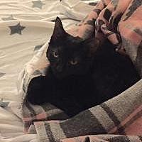 Siamese Kitten for adoption in Cleveland, Ohio - Trixie