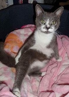 Domestic Shorthair Kitten for adoption in Corona, California - SAMI