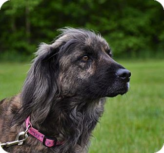 Afghan Hound/Collie Mix Dog for adoption in Rockville, Maryland - Maggie