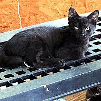 Adopt A Pet :: Sylvia - Fredericksburg, VA