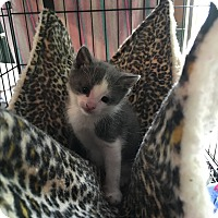 Adopt A Pet :: Joey - Bedford Hills, NY