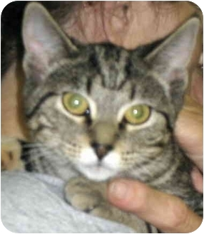 Domestic Shorthair Cat for adoption in Alden, Iowa - Lake