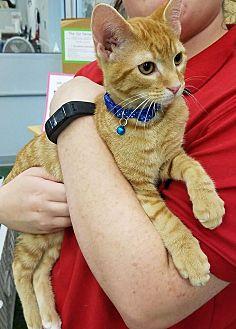 Domestic Shorthair Kitten for adoption in St. Louis, Missouri - Tango