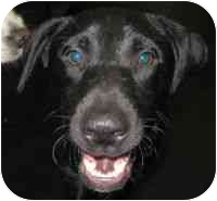 Labrador Retriever Mix Dog for adoption in Boca Raton, Florida - Cody
